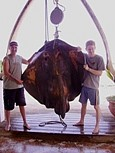 A huge 319lb Stingray caught by Kali and Ian off Mantel Reef